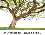 tall trees isolated on white... | Shutterstock . vector #1036557562