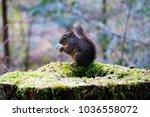 a douglas squirrel ... | Shutterstock . vector #1036558072