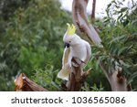 cockatoo perched in tree... | Shutterstock . vector #1036565086