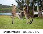 Kangaroo Males Boxing On The...