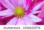 pink daisy flower | Shutterstock . vector #1036632976