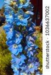 delphinium larkspur flowers | Shutterstock . vector #1036637002