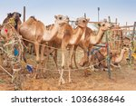 camels at the camel market in... | Shutterstock . vector #1036638646