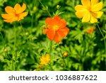 'cosmos'  mexican aster    a... | Shutterstock . vector #1036887622