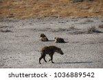 isolated herd of hyena resting... | Shutterstock . vector #1036889542