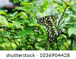 butterfly couple mating.... | Shutterstock . vector #1036904428