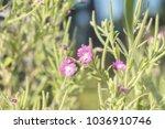 green juicy grass and gentle... | Shutterstock . vector #1036910746