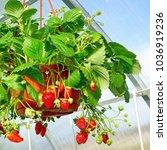 Potted Garden Ripe Strawberry...