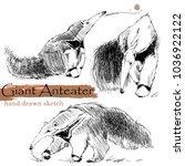 anteater hand drawn sketch.... | Shutterstock . vector #1036922122