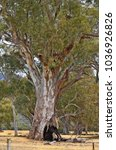 Small photo of Australia, hollow eucalyptus tree
