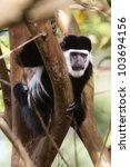 Small photo of Colobus Monkey or Black and White Colobus,, near Dilla, Ethiopia