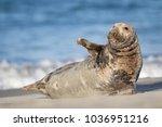 grey seal  halichoerus grypus  | Shutterstock . vector #1036951216