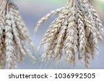 wheat ears stalks bouquet macro ... | Shutterstock . vector #1036992505