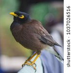 Small photo of Acridotheres a genus of passerine single currency. Acridotheres that the family name in the ancestry acridotheres and starlings. Obesity Fort Bobtail