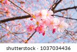 sakura flower in spring season | Shutterstock . vector #1037034436