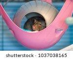 cute pet rat sleeping in his... | Shutterstock . vector #1037038165