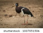 abdim stork walks right to left ... | Shutterstock . vector #1037051506