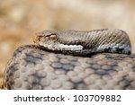 southern italian asp  vipera... | Shutterstock . vector #103709882