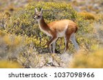 cute baby guanaco close up near ... | Shutterstock . vector #1037098966