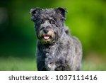 healthy purebred dog... | Shutterstock . vector #1037111416