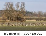 greater white fronted gooses... | Shutterstock . vector #1037135032