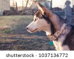 siberian husky on walk   Shutterstock . vector #1037136772