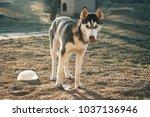 siberian husky with frozen water   Shutterstock . vector #1037136946