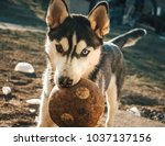 siberian husky with his...   Shutterstock . vector #1037137156