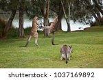 Kangaroo Males Boxing On The...