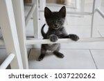 Stock photo cute gray kitten standing up 1037220262