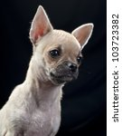 chihuahua puppy portrait close... | Shutterstock . vector #103723382