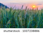 barley field in golden glow of... | Shutterstock . vector #1037238886