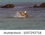 brown pelican  pelecanus... | Shutterstock . vector #1037292718