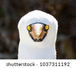 close up of a nazca booby  sula ... | Shutterstock . vector #1037311192