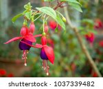 Fuchsia In Flower Garden.