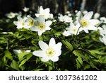 anemone asherah  wood anemone ... | Shutterstock . vector #1037361202
