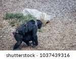 A Chimpanzee Carrying  Her...