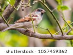 the house sparrow  passer... | Shutterstock . vector #1037459362