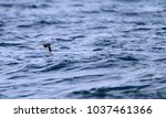 Small photo of Least Auklet (Aethia pussilla) in Japan