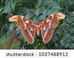 the atlas moth  attacus atlas    Shutterstock . vector #1037488912