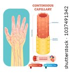 continuous capillary anatomical ...   Shutterstock .eps vector #1037491342