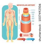 muscular artery anatomical... | Shutterstock .eps vector #1037492506