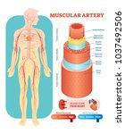 muscular artery anatomical... | Shutterstock .eps vector #1037492506