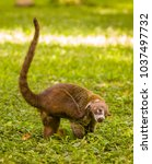 Small photo of TIKAL, GUATEMALA - AUGUST 11, 2008: Coati, also known as Pizote or Coatimundi, at the Mayan ruins of Tikal, located in El Peten department. The coati: genera Nasua and Nasuella.