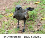 Small photo of Face to face with an angry apostlebird (Struthidea cinerea), also known as the grey jumper, lousy jack or cwa bird. Queensland, Australia