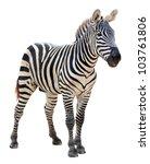 plain burchell zebra on white... | Shutterstock . vector #103761806