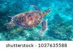 sea turtle in tropical lagoon....   Shutterstock . vector #1037635588