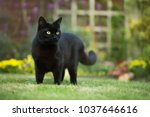 Stock photo close up of a black cat on the grass in the back yard uk 1037646616