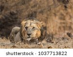 a male asiatic lion  panthera... | Shutterstock . vector #1037713822