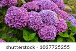Giant Purple Hydrangea Bush
